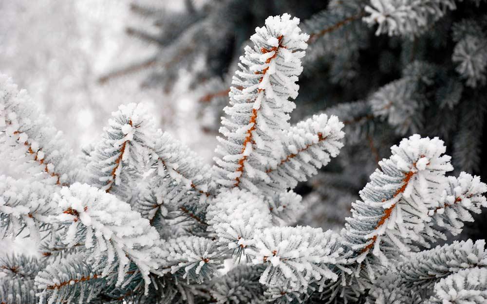 Растения-которые-украсят-зимний-сад