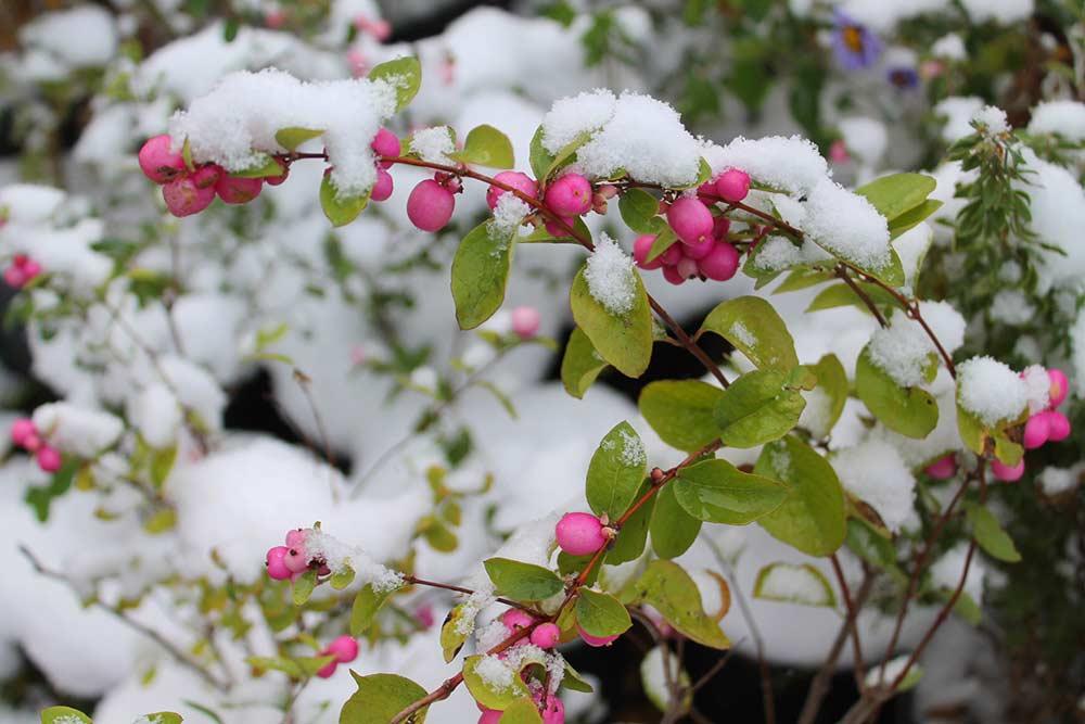 Цветущий-сад-зимой