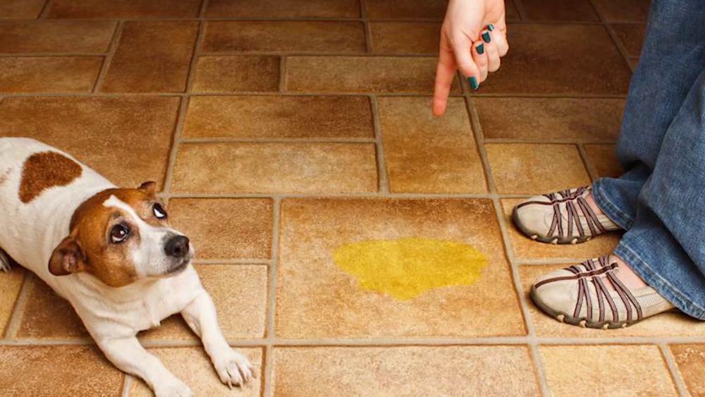 Как приучить щенка к туалету, самый простой и действенный метод